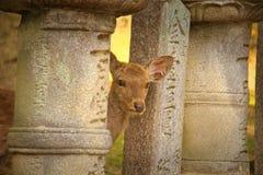 Cerfs communs à Nara, Japon Photographie stock libre de droits