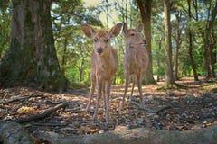 Cerfs communs à Nara, Japon Images stock