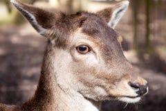 Cerfs communs étroits Photographie stock libre de droits