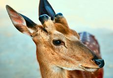 Cerfs communs Images stock