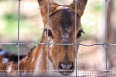Cerfs communs photos stock