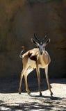 Cerfs communs Images libres de droits