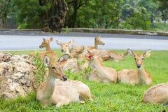 Cerfs communs Photographie stock libre de droits