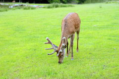 Cerfs communs Photo stock