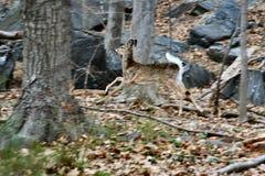 Cerfs communs 5 Images libres de droits