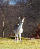 Cerfs communs Photographie stock