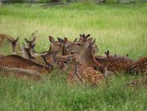Cerfs communs Photographie stock