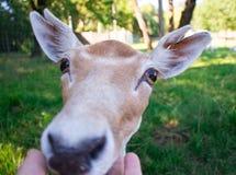 Cerfs communs photos libres de droits