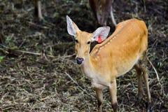 Cerfs communs image stock