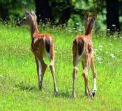 Cerfs communs Photo stock
