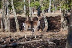 Cerfs communs adultes dans les bois Photo stock