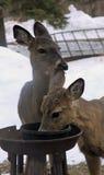 Cerfs communs affamés du Minnesota Images libres de droits