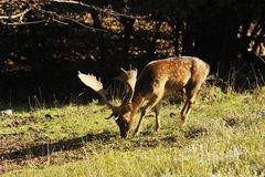 Cerfs communs affrichés Photo libre de droits