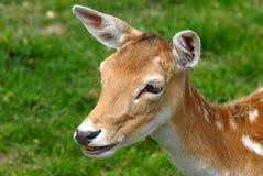 Cerfs communs affrichés Image stock