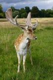 Cerfs communs affrichés Photos stock