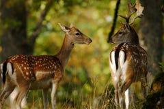 Cerfs communs affrichés Photographie stock