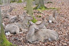 Cerfs communs affrichés Image libre de droits