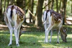 Cerfs communs affrichés Images stock