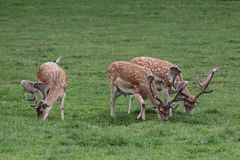 Cerfs communs affrichés Photo stock