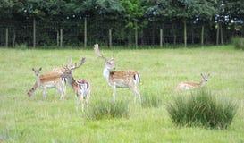 Cerfs communs affrichés Photo libre de droits