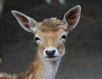 Cerfs communs affrichés photographie stock libre de droits