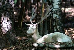 Cerfs communs affrichés albinos dans la forêt Image stock