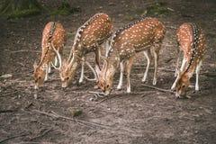 Cerfs communs affrichés alignés tout en mangeant Photographie stock
