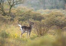 Cerfs communs affrichés alimentant sur un buisson Photos libres de droits