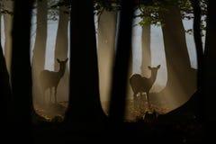 Cerfs communs affrichés au crépuscule Images libres de droits