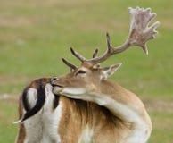 Cerfs communs affrichés avec des klaxons Photographie stock libre de droits