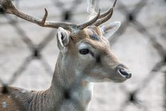 Cerfs communs affrichés avec des klaxons Image libre de droits