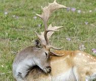Cerfs communs affrichés avec le manteau d'été Photographie stock libre de droits