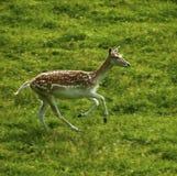 Cerfs communs affrichés avec le manteau repéré d'été se déplaçant rapidement Image stock
