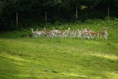 Cerfs communs affrichés avec le manteau repéré d'été se déplaçant rapidement Photo libre de droits