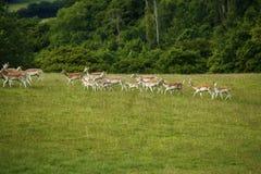 Cerfs communs affrichés avec le manteau repéré d'été se déplaçant rapidement Photos libres de droits
