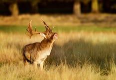 Cerfs communs affrichés beuglant pendant le rut image stock