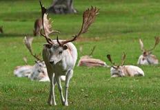 Cerfs communs affrichés blancs. Image stock