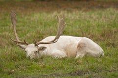 Cerfs communs affrichés blancs Photos stock