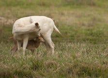 Cerfs communs affrichés blancs Images libres de droits