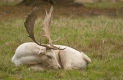 Cerfs communs affrichés blancs Image libre de droits