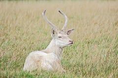 Cerfs communs affrichés blancs Photographie stock libre de droits