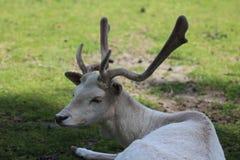 Cerfs communs affrichés blancs photos libres de droits
