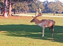 Cerfs communs affrichés Buck With Huge Rack des klaxons Image libre de droits