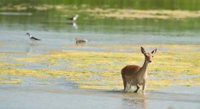 Cerfs communs affrichés croisant la lagune Photos stock