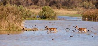 Cerfs communs affrichés croisant la lagune parmi des canards Photographie stock libre de droits