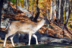Cerfs communs affrichés (dama de Dama) Photo stock