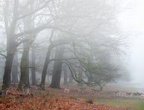 Cerfs communs affrichés dans l'horizontal brumeux de forêt de l'hiver photographie stock