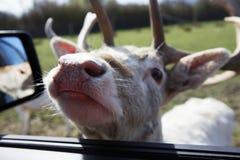 Cerfs communs affrichés dans l'hublot de véhicule Photo libre de droits
