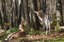 Cerfs communs affrichés dans la forêt pendant la chute Photo stock