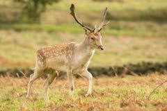 Cerfs communs affrichés dans la longue herbe photos libres de droits